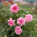 29 Hoa Hong Ngoai Rose Pompadour