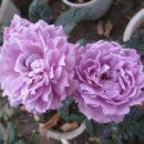 74 Hoa Hong Ngoai Lavender Crystal