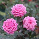 97 Hoa Hong Ngoai Yua Love Knot Rose