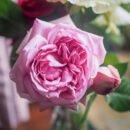 Hoa Hong Leo Pompadour Rose Hoahongsaigon