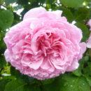 Hoa Hong Bienvenue Rose 1