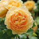 Hoa Hong Golden Celebration Rose 2b
