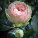 Hoa Hong Charming Piano Rose Hoahongsaigon