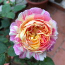Hoa Hong Claude Monet Rose 2