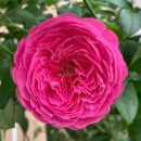 Hoa Hong Nhat For Your Home Rose 1