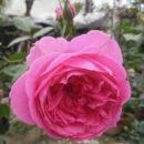 Hoa Hong Parade Rose Hoahongsaigon 01