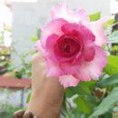 Hoa Hong Sheherazad 01 Cua Gạo Garden