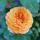 Hoa Hong Honey Caramel Rose 1